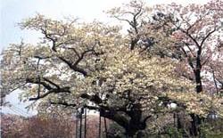 松前の銘桜 雨宿
