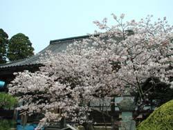 松前の銘桜 蝦夷霞桜