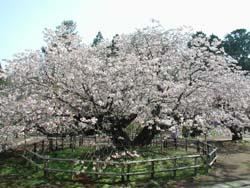 伝説を持つ血脈桜