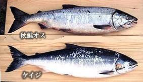秋鮭とケイジの見比べ