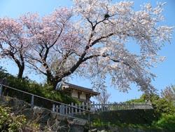 松前の銘桜 夫婦桜