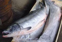 定置網漁で捕獲された鮭