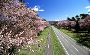 桜並木画像